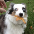 Cute dog with leaf in mouth as hand reaches to take it